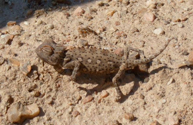 A-Namib-chameleon-about-4-inches-long-He-didn-t-l
