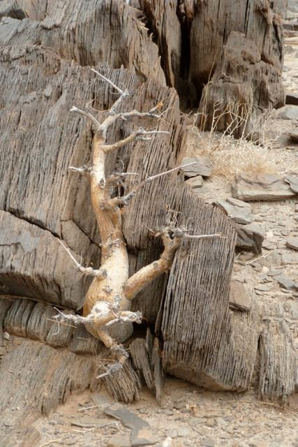This-stunted-moringa-shows-just-how-patient-desert